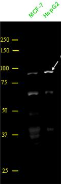 Western blot - PROX1 antibody (ab57746)