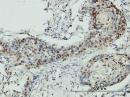 IHC-P - RNMT antibody (ab57893)