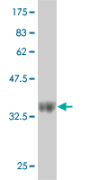 Western blot - CD164 antibody (ab57948)