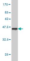 Western blot - Porimin antibody (ab57968)