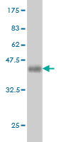 Western blot - NRBP2 antibody (ab58038)