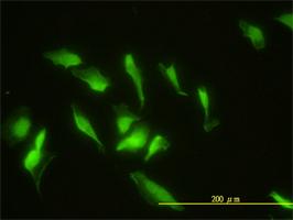 Immunofluorescence - ZNF174 antibody (ab58172)