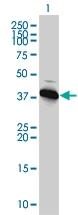 Western blot - AMPK beta 1 antibody (ab58175)