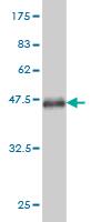 Western blot - SOX9 antibody (ab58191)
