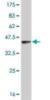 Western blot - ROR beta antibody (ab58312)