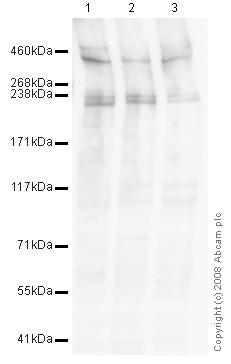 Western blot - RanBP2 antibody (ab58385)