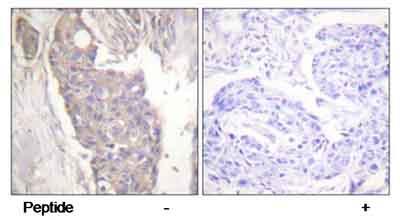 Anti-Fas antibody (ab58394)