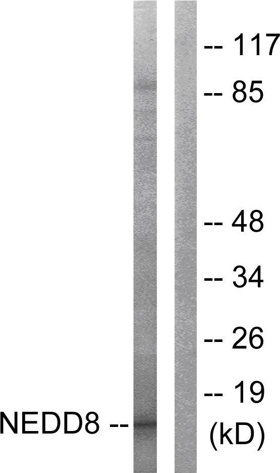 Western blot - NEDD8 antibody (ab58399)