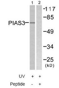 Western blot - PIAS3 antibody (ab58406)