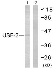 Western blot - USF2 antibody (ab58460)