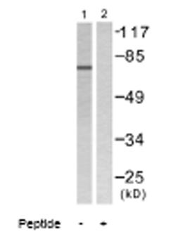 Western blot - Lamin A + C antibody (ab58529)