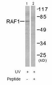 Western blot - Raf1 antibody (ab58542)