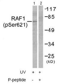 Western blot - Raf1 (phospho S621) antibody (ab58543)