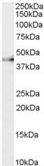 Western blot - CNTF Receptor alpha antibody (ab58560)