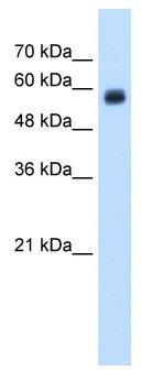 Western blot - CD299 antibody (ab58603)