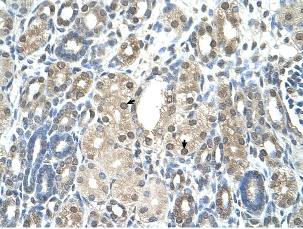 Immunohistochemistry (Formalin/PFA-fixed paraffin-embedded sections) - Anti-Visfatin antibody (ab58640)