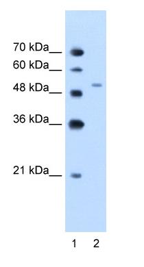 Western blot - PBEF antibody (ab58640)