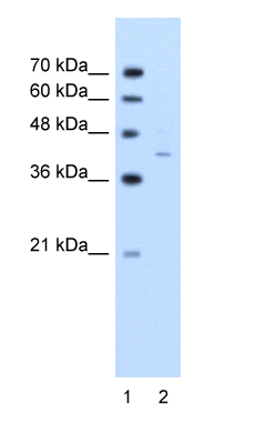 Western blot - G protein alpha antibody (ab58651)