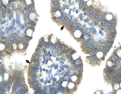 Immunohistochemistry (Formalin/PFA-fixed paraffin-embedded sections) - Anti-ZNF498 antibody (ab58700)