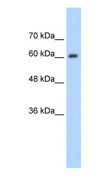 Western blot - hnRNP Q antibody (ab58854)