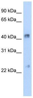 Western blot - Connexin 37 / GJA4 antibody (ab58918)