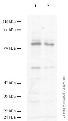 Western blot - Prolyl Endopeptidase antibody (ab58988)