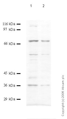 Western blot - Prolyl Endopeptidase antibody (ab58993)