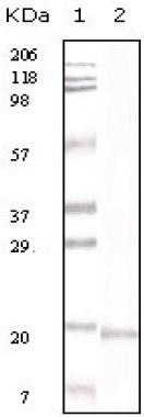 Western blot - IL16 antibody [1F12D7] (ab59010)