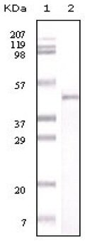 Western blot - PBEF antibody [4E11C9] (ab59106)