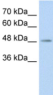 Western blot - C9orf127 antibody (ab59127)