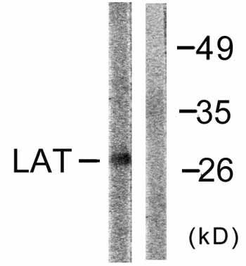 Western blot - LAT antibody (ab59229)