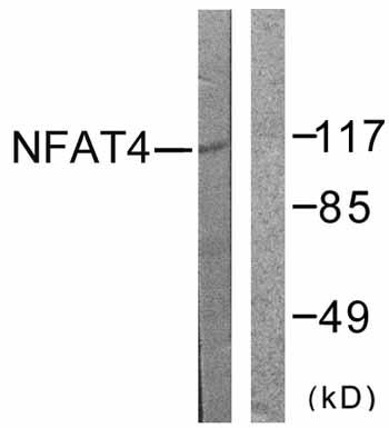 Western blot - NFAT4 antibody (ab59236)