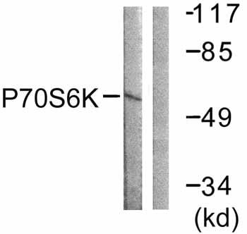Western blot - S6K antibody (ab59244)