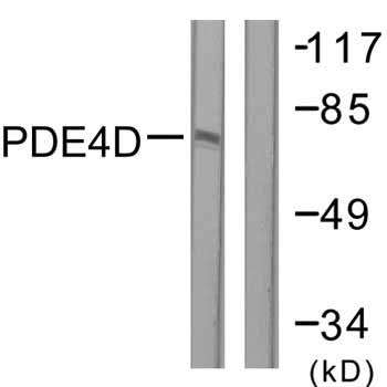 Western blot - PDE4D antibody (ab59249)