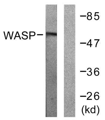 Western blot - WASP  antibody (ab59279)