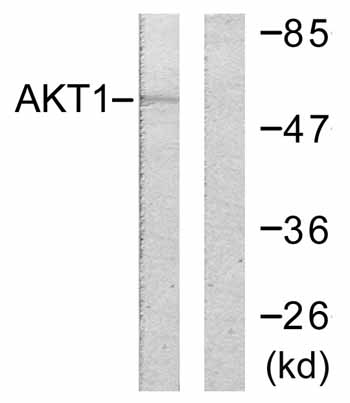 Western blot - AKT1 antibody (ab59284)