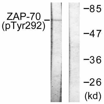 Western blot - ZAP70 (phospho Y292) antibody (ab59290)