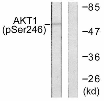 Western blot - AKT1 (phospho S246) antibody (ab59291)