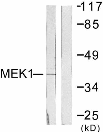 Western blot - MEK1 antibody (ab59294)
