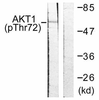 Western blot - AKT1 (phospho T72) antibody (ab59295)