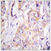 Immunohistochemistry (Paraffin-embedded sections) - MEK1 (phospho T286) antibody (ab59329)