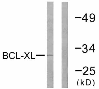 Western blot - Anti-Bcl-XL antibody (ab59349)