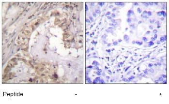 Anti-Bcl-XL antibody (ab59349)