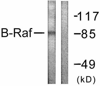 Western blot - B Raf antibody (ab59357)