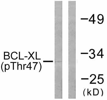 Western blot - Anti-Bcl-XL (phospho T47) antibody (ab59402)