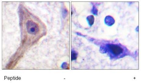 Anti-PRAS40 antibody (ab59438)