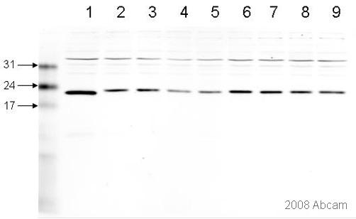 Western blot - Peroxiredoxin 6 antibody (ab59543)