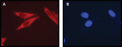 Immunocytochemistry/ Immunofluorescence - Ribosomal protein L26 antibody (ab59567)