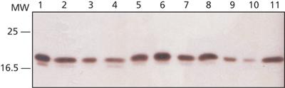 Western blot - Ribosomal protein L26 antibody (ab59567)