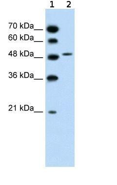 Western blot - SLC10A5 antibody (ab59695)
